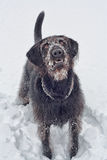 Labradoodle in the Snow Royalty Free Stock Photography
