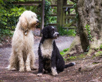 Labradoodle and Spanish Water dogs Royalty Free Stock Images