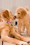 Labradoodle Welpe und goldener Apportierhund Lizenzfreie Stockfotografie