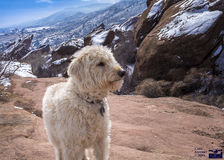 Labradoodle at Winter on the Rocks. Teig at Redrocks park in Morrison Colorado after a snow storm Stock Images