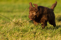Labradoodle young. A Labradoodle young in the field Royalty Free Stock Images