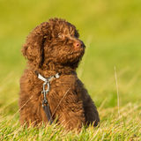 Labradoodle young. A labradoodle young in the field ready for the foto shoot Stock Image