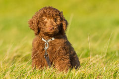 Labradoodle young. A Labradoodle young in the filed ready for the fotoshoot Stock Photo