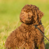 Labradoodle Young. A Labradoodle young in the field ready for the fotoshoot Stock Photos