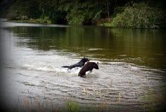 Labradorów aportery w rzece w Oregon Zdjęcie Royalty Free
