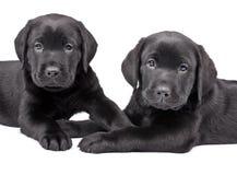 labradorów czarny szczeniaki dwa Obraz Royalty Free