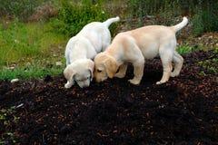 Labradorów kochający szczeniaki Zdjęcia Royalty Free