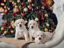 Labradorów szczeniaki fotografia royalty free
