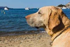 Labrador à la plage Image libre de droits