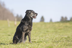 Labrador Royalty Free Stock Image