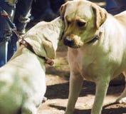 Labrador är kyssande Hundkapplöpning på utställningen Labrador på Royaltyfri Bild