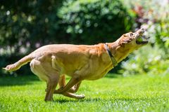Labrador łapie piłkę od strony na słonecznym dniu obraz royalty free