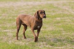 Labrador Royaltyfri Fotografi