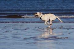 Labrador labrador Arkivbilder