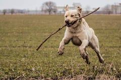 Labrador royalty-vrije stock fotografie