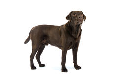 собака labrador шоколада стоковое изображение rf