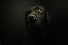 Labrador Fotografia Stock