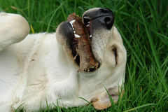 The labrador. On the grass royalty free stock image