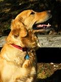 Labrador Image stock
