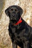 Labrador Stock Afbeeldingen