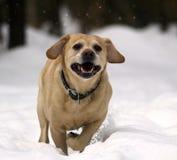 Labrador Stock Foto's