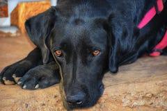Labrador zdjęcia stock