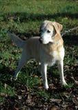 Labrador Foto de archivo