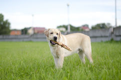 Labrador. Arkivbild