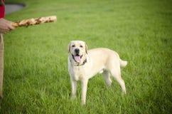 Labrador. Fotografering för Bildbyråer