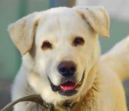 Free Labrador Royalty Free Stock Image - 22014086