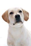 Labrador Stock Foto