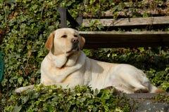 Labrador. Stock Photos