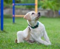 Labrador Immagini Stock
