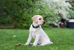 Labrador Fotografia Stock Libera da Diritti