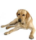 Labrador Photo stock