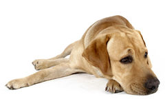 Labrador. Retriever isolated on white Royalty Free Stock Images