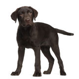 Labrador, 3 months old, standing Stock Image