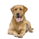 Labrador (3 years). In front of a white background Royalty Free Stock Photography