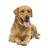 Labrador (3 years) royalty free stock photography
