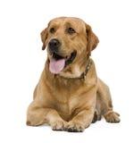 Labrador (3 years) Stock Photo