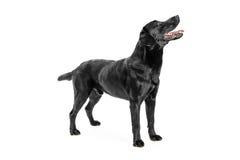 Labrador Imagens de Stock