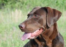Labrador Arkivfoto