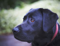 Labrador Images stock