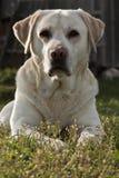Labrador Royaltyfria Foton
