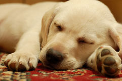 Labrador royalty free stock photography