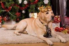 Labrador Foto de Stock Royalty Free