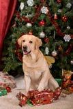 Labrador Fotos de Stock Royalty Free