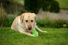 Labrador Photos stock