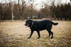 Labrador Royaltyfria Bilder