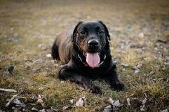 Labrador Arkivfoton